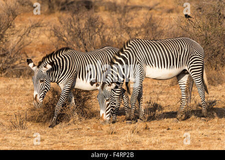 Grévy's zebras (Equus grevyi), grazing, Samburu National Reserve, Kenya - Stock Photo