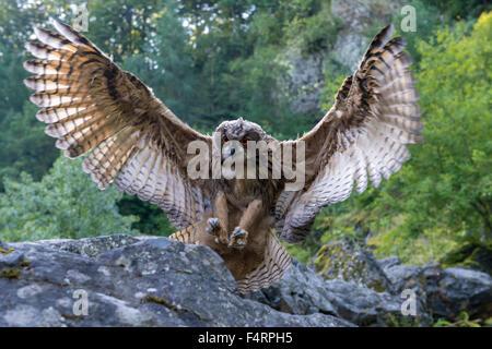 Eurasian eagle-owl (Bubo bubo), captive, spreading wings to land, Vulkaneifel, Germany - Stock Photo
