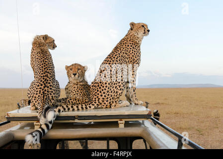 A cheetah (Acinonyx jubatus) with two cubs sitting on the car top, Maasai Mara National Reserve, Narok County, Kenya - Stock Photo