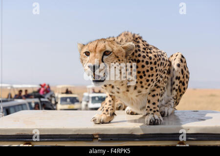 A cheetah (Acinonyx jubatus) sitting on a vehicle, disturbed by the tourist buses, Maasai Mara National Reserve, - Stock Photo