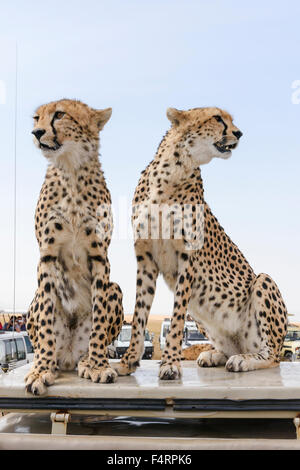 Two cheetahs (Acinonyx jubatus) sitting on the car top, Maasai Mara National Reserve, Narok County, Kenya - Stock Photo