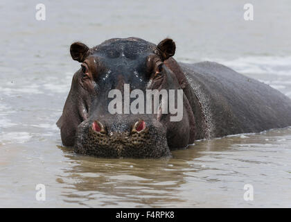 Hippo (Hippopotamus amphibius) in the Mara River, Masai Mara National Reserve, Narok County, Kenya - Stock Photo