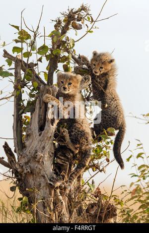 Cheetahs (Acinonyx jubatus), six-week-old cheetah cubs climbing a dead tree, Maasai Mara National Reserve, Narok - Stock Photo