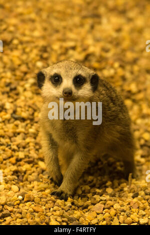 meerkat; suricata suricatta, animal - Stock Photo