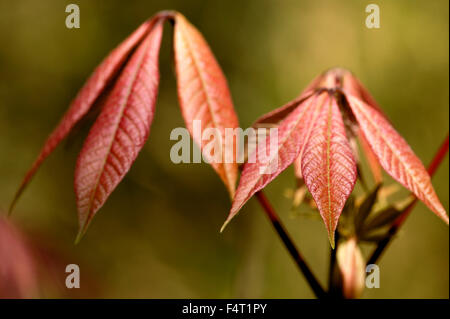 Aesculus Parviflora (Dwarf Buckeye). Close-up of new leaves. April. Gloucestershire UK. - Stock Photo