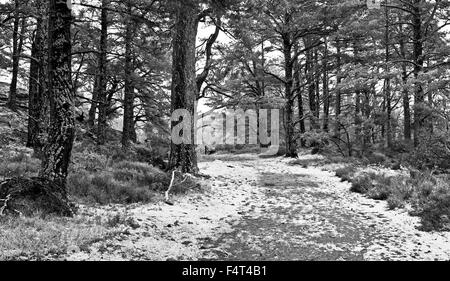Track through ancient Caledonian pine forest on the Rothiemurchus Estate near Aviemore, Cairngorms, winter, Scottish - Stock Photo