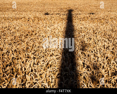 Cross Shaped Telegraph Pole Shadow on a Wheat Field near Beadnell Northumberland England - Stock Photo