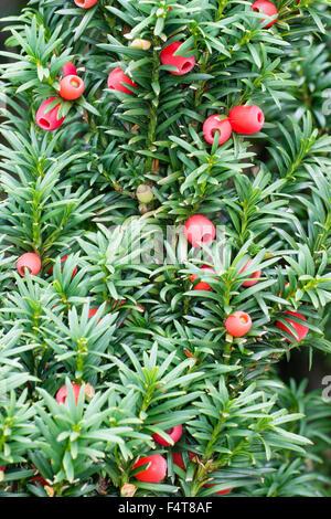 ornamental yew taxus baccata fastigiata aureomarginata twig stock photo royalty free image. Black Bedroom Furniture Sets. Home Design Ideas