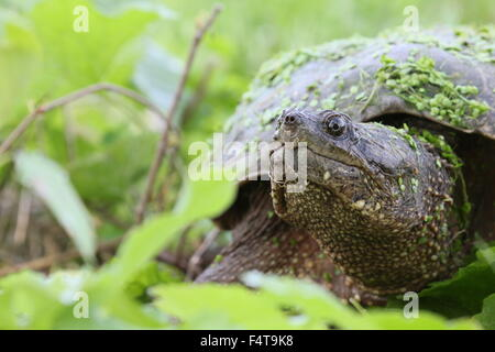 Snapping turtle among leaves. - Stock Photo