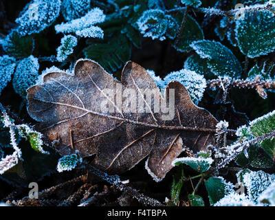 Oak leaf on blackberry - Stock Photo