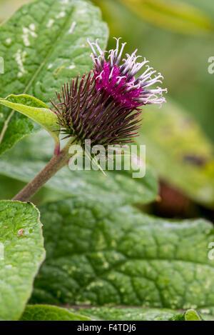 Lesser burdock / burweed / louse-bur / common burdock (Arctium minus) in flower - Stock Photo