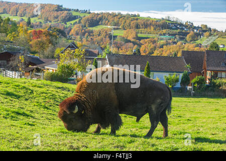 Bison breeding in Lutzenberg, - Stock Photo