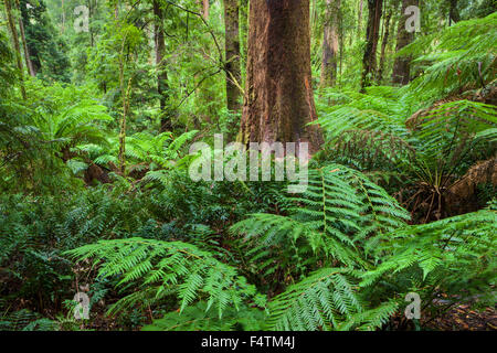 Great Otway, National park, Australia, Victoria, wood, forest, ferns - Stock Photo