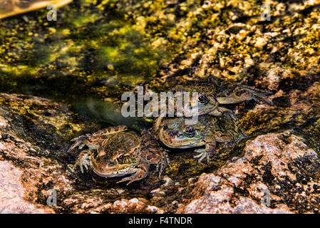 lowland leopard frog, rana, lithobates, yavapaiensis, frog, animal - Stock Photo