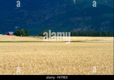 Ripe wheat field near Kalispell, Montana, USA. - Stock Photo