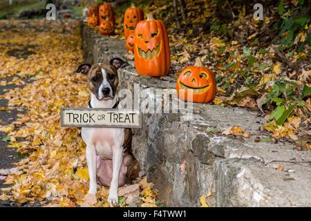 Halloween Dog with Jack O Lanterns - Stock Photo
