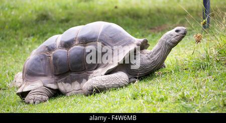 Aldabra giant tortoise (Aldabrachelys gigantea) - Stock Photo