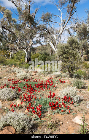 Colourful landscape in outback Australia with carpet of red flowers of Sturt's desert pea, Swainsona formosa & gum - Stock Photo