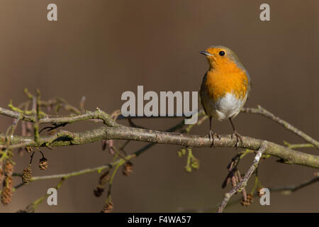 Robin, European robin, Rotkehlchen, Erithacus rubecula, Le Rouge-gorge familier - Stock Photo