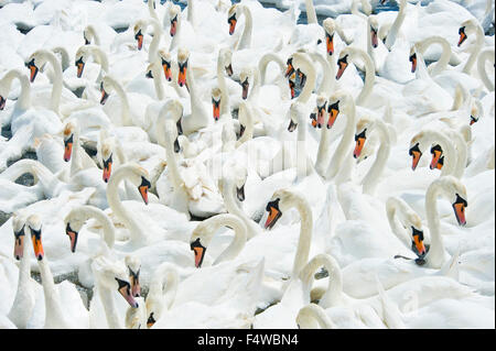 A compressed perspective view of the swans at the Abbotsbury swan sanctuary in Dorset. - Stock Photo
