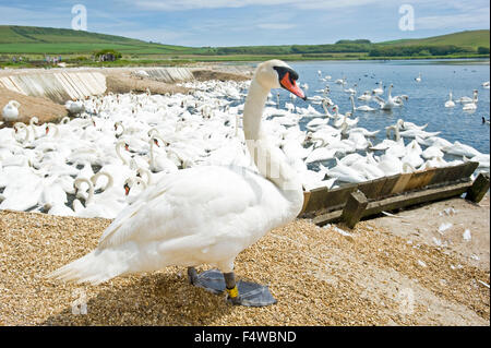 An image showing one of the swans on land in the foreground at the Abbotsbury swan sanctuary in Dorset. - Stock Photo