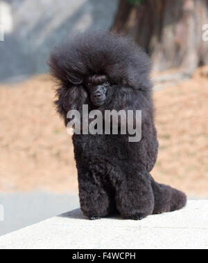 black toy poodle - Stock Photo