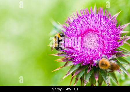 Two bee workers collecting nectar on a fanimal background beautiful beauty bee biology blossom close-up closeup - Stock Photo