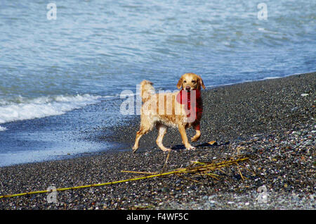 Dog playing on the beach after swimming - Stock Photo
