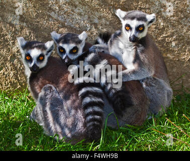 Group of Ring Tailed Lemurs (lemur catta) - Stock Photo