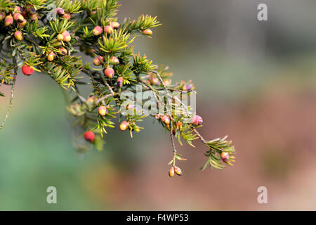 Yew tree berries (aril) - the only part of a yew tree that is edible - Stock Photo