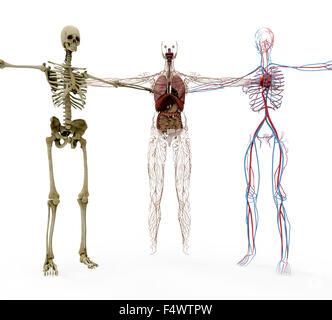 human anotomy in bones, organs and vasculair. - Stock Photo