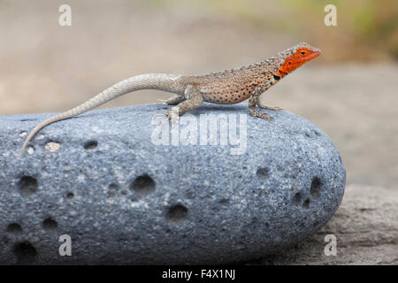 Female Galapagos Lava Lizard (Microlophus albemarlensis) in breeding color basking in the sun on lava rock. - Stock Photo