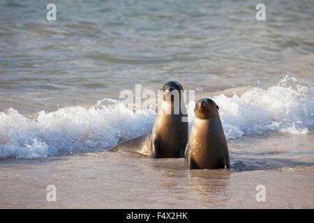 Galapagos Sea Lions (Zalophus wollebaeki) in the surf - Stock Photo