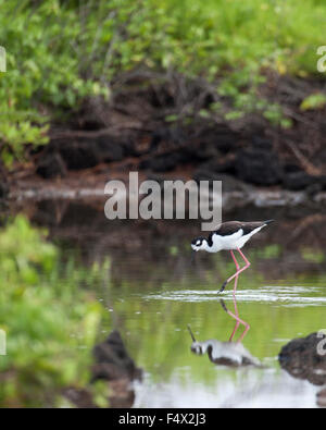 Black-necked Stilt (Himantopus mexicanus) wading in saline lagoon - Stock Photo