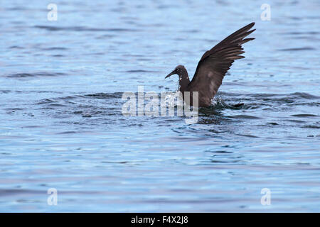 Brown Noddy tern (Anous stolidus) diving - Stock Photo