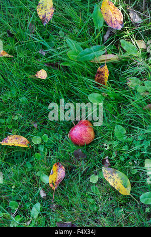 Malus domestica. Fallen Red Apple in the grass - Stock Photo