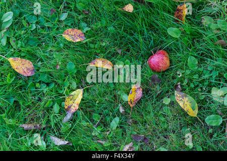 Malus domestica. Fallen Red Apple in the grass - Stock Photo