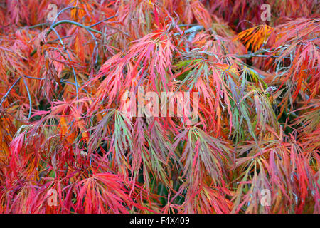 Autumn foliage on  Weeping Japanese Maple also known as Weeping Japanese Acer. The leaves create a feathery pattern - Stock Photo
