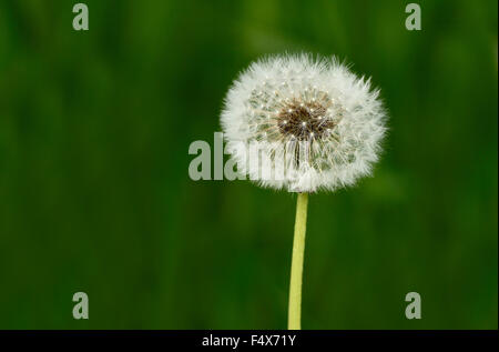 A close up macro image of a dandelion head gone to seed on a dark green background. - Stock Photo