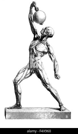 Anatomy: Human musculature, vintage engraving - Stock Photo