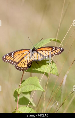 Butterfly resting in tall grass. - Stock Photo