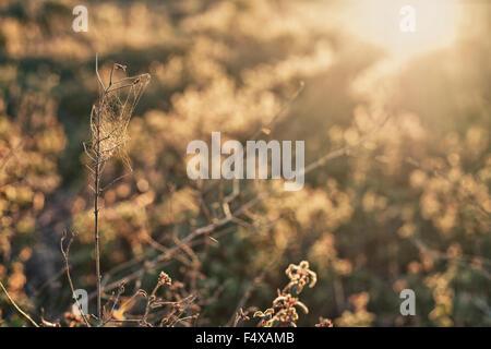 Wild little dry plant against the sun light sky on dehesa landscape, Extremadura, Spain - Stock Photo