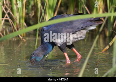 Purple Swamp-hen in Andalucia - Stock Photo