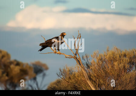 Wedge-tailed Eagle (Aquila audax) Great Victoria Desert, Australia. - Stock Photo