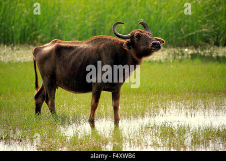 Water buffalo (Bubalis bubalis), adult female, standing in shallow water, Bundala National Park, Sri Lanka - Stock Photo