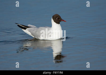An adult Black Headed Gull in breeding plumage swimming in blue water with reflection. Rye Harbour Nature Reserve, - Stock Photo