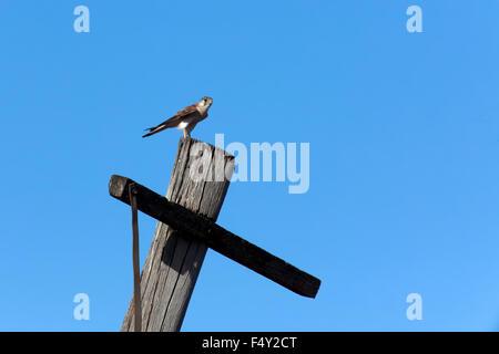 Nankeen Kestrel (Falco cenchroides) - Stock Photo