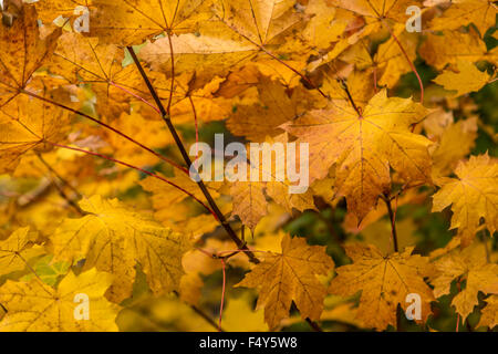 Yellow Maple leaves in seasonal fall colors, catching the light of the sun. - Stock Photo