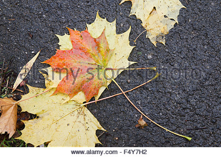 Hayton, Retford, Notts, UK. 24th October 2015, After the wind and rain the colourful leaves of Autumn lie scattered - Stock Photo