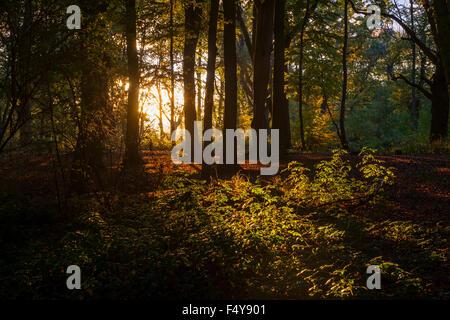 A Golden Sunset on English Woodland in Hanbury, Worcestershire. - Stock Photo